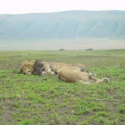 A Pride of Lion in Ngorongoro Crater Conservation Area. Photo Credit- Mohamed Kambi
