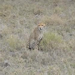 Cheetah in Serengeti Plains, Serengeti National Park. Photo Credit-Mohamed Kambi