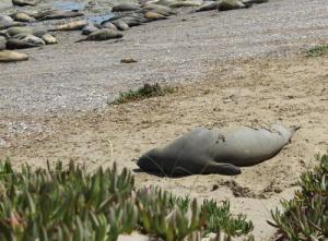 Juvenile Elephant Seal. Photo Credit-Viviana Granado.