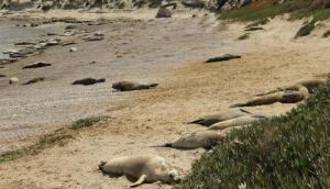 Elephant Seal. Photo Credit- Viviana Granado