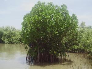 Mangrove Plants. Photo Credit-Alfredo Quarto & Jim Enright