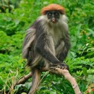 Red Colobus. Photo Credit-Mohamed Kambi