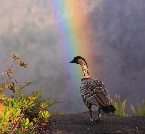 Bushy Duck