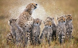Cheetah Family In Masi Mara...***EXCLUSIVE*** *** NO INTERNET USAGE UNTIL 00:001 BST ON JULY 23, 2012 ***  MASI MARA, KENYA - UNDATED: Cheetah mother shakes of the rain off her fur after a rain shower and in process soakes her six cubs in Masai Mara, Kenya.  A cheetah mum drenches her six adorable cubs - as they all squirm with shock. The pack of three-month-old cubs had already taken a soaking from Mother Nature during a flash downpour in Masai Mara, Kenya. The nippers' fur had just dried out when their mother shook herself dry - dousing them all in water. And Irish snapper Paul Mckenzie, 48, who now lives in Hong Kong, was perfectly poised to capture their adorable reactions.  PHOTOGRAPH BY Paul Mckenzie / Barcroft Media  UK Office, London.  T +44 845 370 2233  W www.barcroftmedia.com   USA Office, New York City.  T +1 212 796 2458  W www.barcroftusa.com   Indian Office, Delhi.  T +91 11 4053 2429  W www.barcroftindia.com