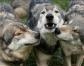Bushy Wolf