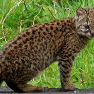 Bushcat
