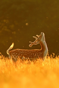 Fallow stag and flies at dawn.
