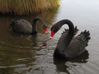Cygnus atratus (Black Swans) in wetland