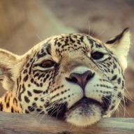 Meow Meow o