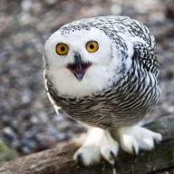 Owly Sweetie