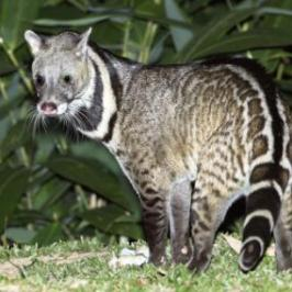 Civet facing human persecution across tropics