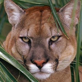 Florida Panther : Subspecies of Mountain Lion - Wildlife Ecologists study how Florida Panther population plays role in Ecosystem per se
